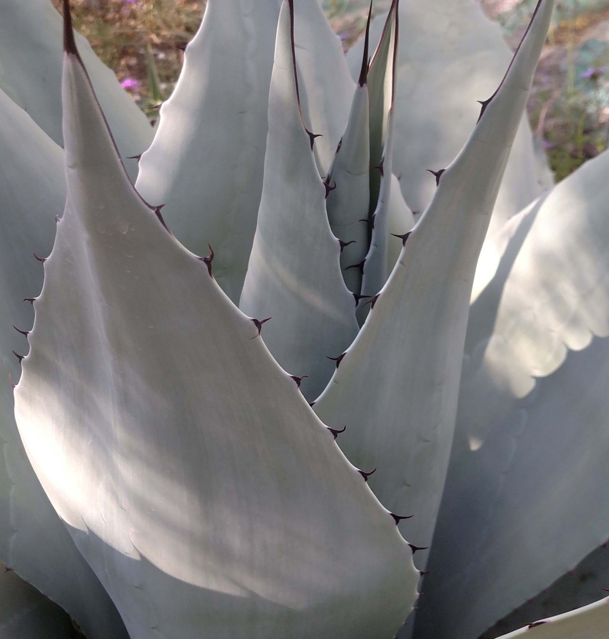 agave cropped