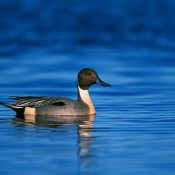 northern-pintail-duck-1790415